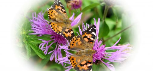 Last chance to dedicate a butterfly